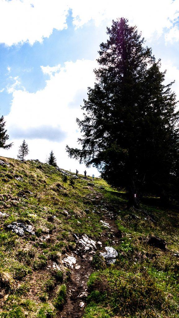 Weg und großer Nadelbaum - kurz vor dem Gipfel