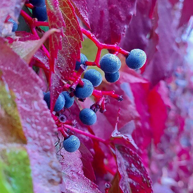 von Tau getränkte Beeren und Blätter